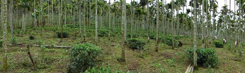 Puli, Nantou county, cueillette de thé - P1050591.JPG
