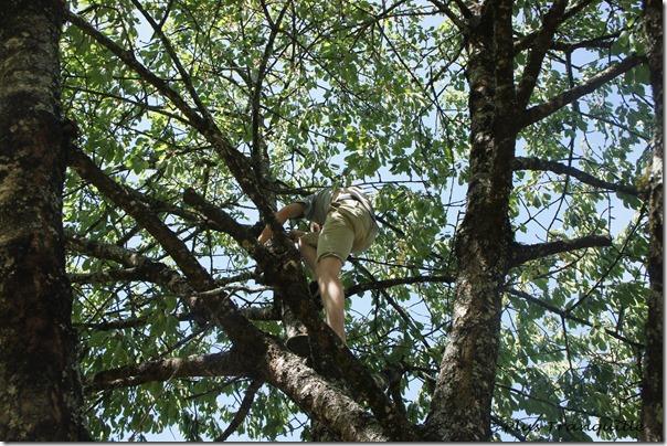 Josh Cherry Tree