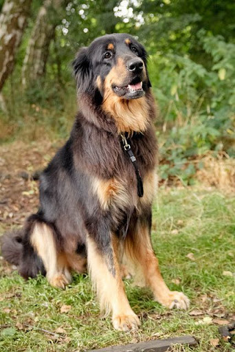 Chó Rottweiler lai Golden - Golden Rottie