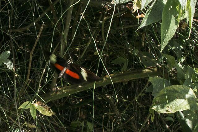 Heliconius clysonymus clysonymus Latreille, [1817]. Machetá, 2070 m (Cundinamarca, Colombie), 1er novembre 2015. Photo : B. Lalanne-Cassou