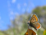 Aricia cramera2.jpg