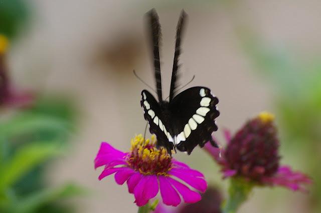 Papilio polytes LINNAEUS, 1758, mâle. Village de Mandian (Xichuangbanna, Yunnan), 25 août 2010. Photo : J.-M. Gayman