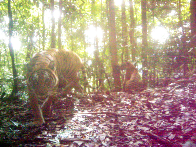 A remote research camera snaps a photo of critically endangered Malayan tigers in the forest where Woodland Park Zoo's conservation project is based. Photo: DWNP-Rimba