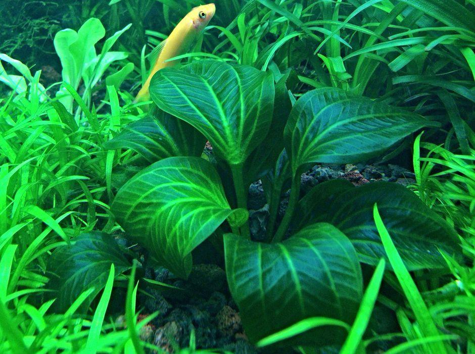 Эхинодорус темный (Echinodorus opacus)