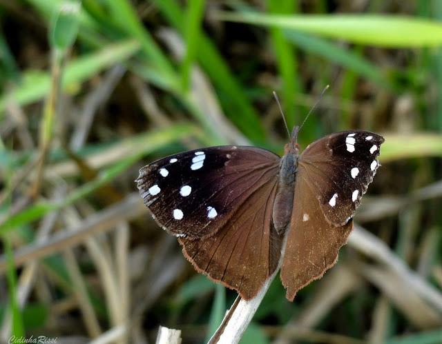 Eunica (Libythina) cuvierii (GODART, 1819). Colider (Mato Grosso, Brésil), mai 2011. Photo : Cidinha Rissi. Seule espèce d'Eunica avec de longues palpes labiaux, est ainsi classée par d'Abrera comme Libythina cuvierii (GODART, 1819). Les marques inférieures sont cependant celles des Eunica. Dans la liste des néotropicaux Lamas  2004, la sp. est répertoriée comme Eunica cuvierii (GODART, 1819), et placée dans la tribu Epicaliini, Biblidinae, Nymphalidae.