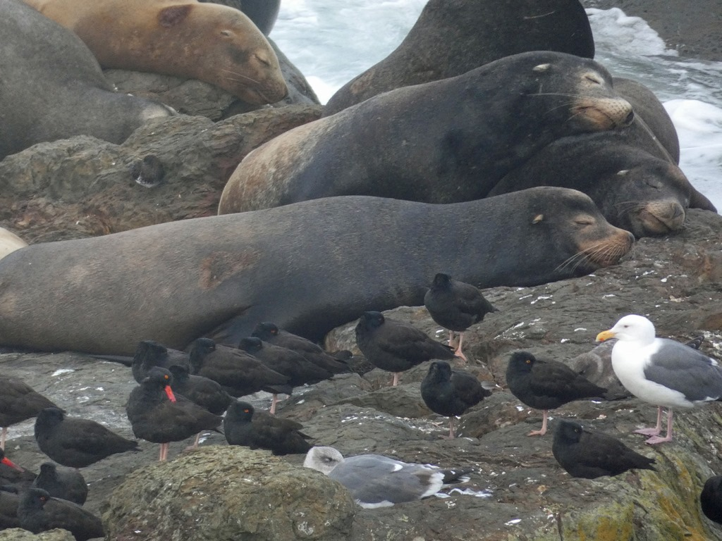 [Sea+Lions+and+Oystercatchers%5B4%5D]