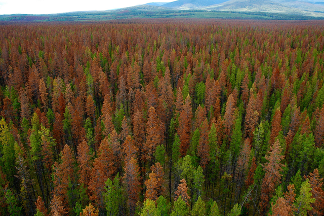 Mountain Pine Beetle-attacked canopy in the red stage seen from top of the Kennedy Siding Flux Tower in Interior BC, 23 August 2007. Part of album 'Kennedy Siding Flux Tower'. Photo: Matthew Brown / UBC / flickr