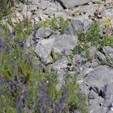 Parnassius apollo provincialis Kheil, 1905. Lagarde d'Apt, 1200 m (Vaucluse), 28 juin 2015. Photo : J.-M. Gayman