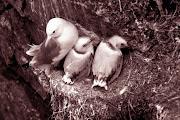 1977 г. Гнездо чайки на птичьем базаре