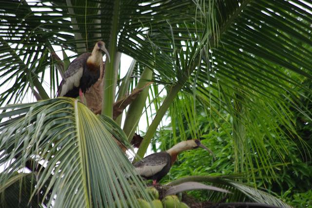 Ibis mandore - Theristicus caudatus (Boddaert, 1783). Fundo Palmarito, 265 m (Yopal, Casanare, Colombie), 7 novembre 2015. Photo : J.-M. Gayman