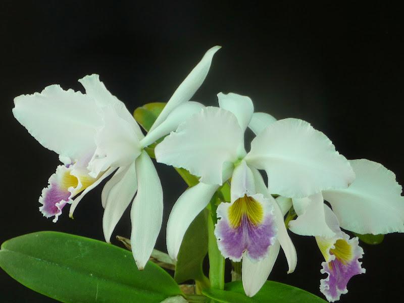 Cattleya gaskelliana f. coerulea P1200698
