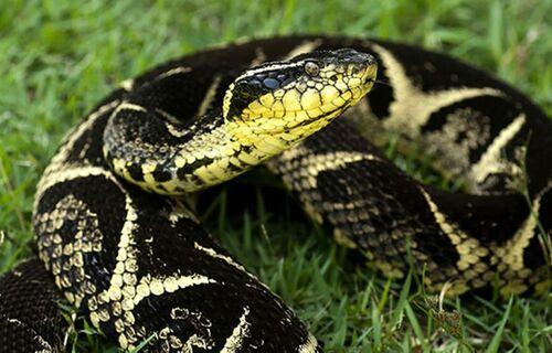 Veneno de cobra pode ser eficaz contra proliferação da Covid-19 no organismo