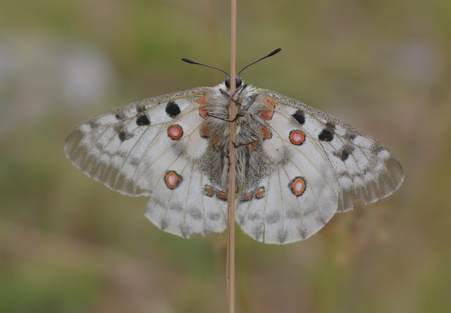 Parnassius (Parnassius) apollo provincialis KHEIL, 1905, femelle, verso. La Blachière, 1700 m (Maurin, Alpes-de-Haute-Provence), 9 août 2009. Photo : J.-M. Gayman