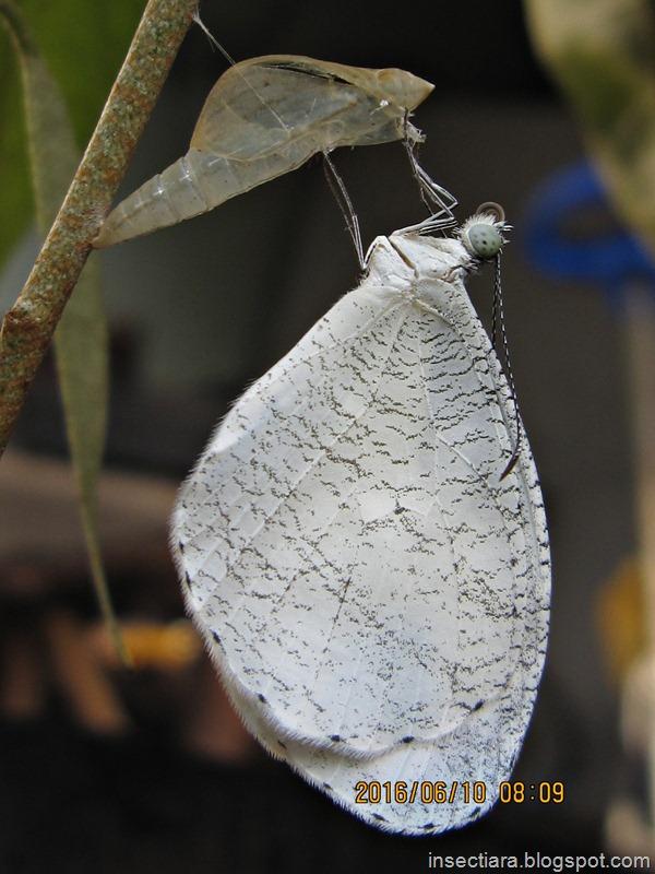 kupu-kupu Leptosia nina