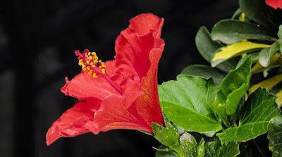 Jaswand Flower information in Marathi