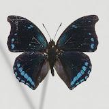 Charaxes lycurgus bernardiana PLANTROU, 1978, mâle. Ebogo, avril 2013. Coll. et photo : C. Basset