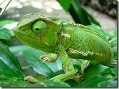 chameleonssss