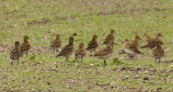 13-golden-plovers
