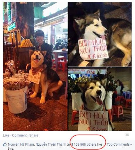 Hơn 160 lượt like hình ảnh của chú chó alaska ngộ nghĩnh