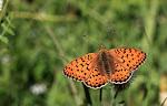 Klitperlemorsommerfugl, Argynnis niobe f. eris4.jpg
