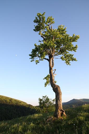 Strom medzi Ploskou a Borišovom