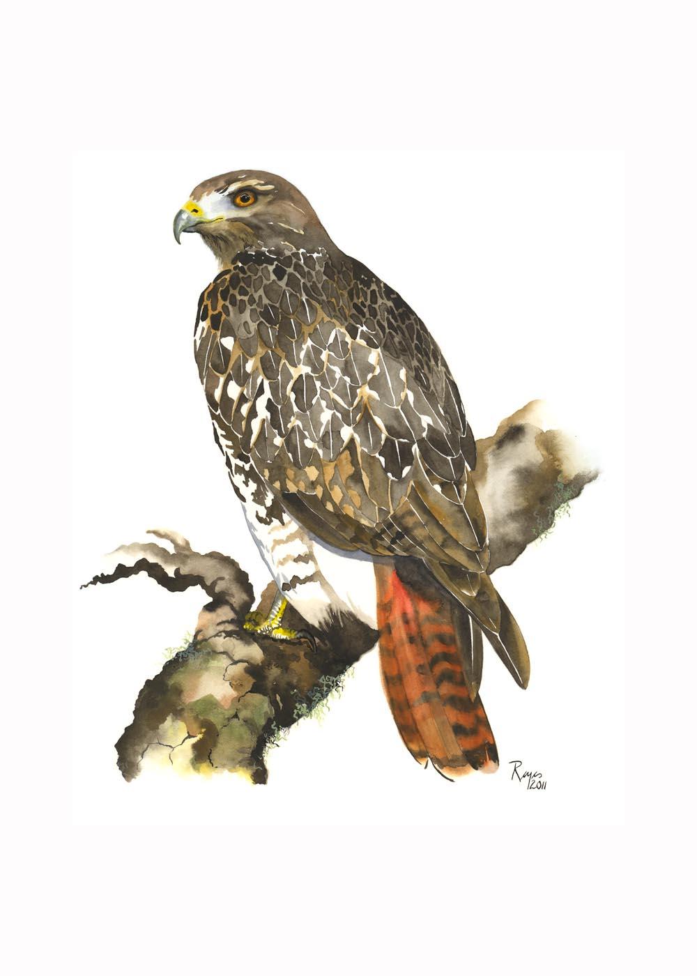 wa ka ve red tailed hawk