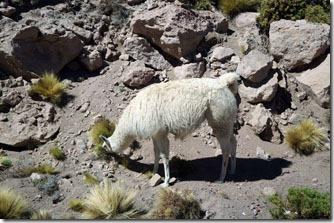 Lhamas no caminho do Salar de Tara - Atacama