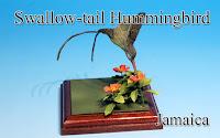 Swallow-tail Hummingbird -Jamaica-