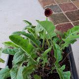 Gardening 2010 - 101_0312.JPG