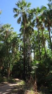 Livistona Palms