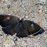 Favonius orientalis schischkini KURENTZOV, 1970, femelle - Monts Sinyi. Photo : N. N. Balatskij