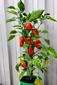 Capsicum or bell peppers of orange colour growing in a pot