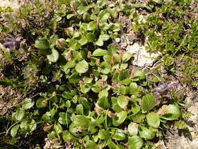 Saule reticule Salix reticulata Salicacees 2.JPG