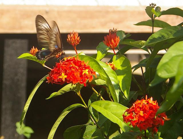 Trogonoptera trojana HONRATH, 1886, femelle, Port Barton, Palawan, août 2005. Photo : J.-M. Gayman
