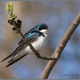 Tree Swallow - Karl Egressy