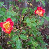 Gardening 2010 - 101_1172.JPG