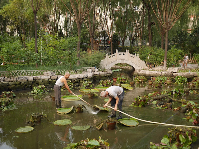 two men working together to spray water underneath a water lily in a drained pond at Wenying Park in Tiayuan