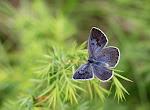 Sortplettet blåfugl, Maculinea arion f. obscura4.jpg