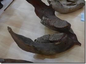 machoire mamouth(les deux dents inférieures)