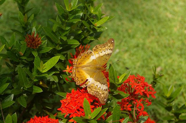 Vindula erota FABRICIUS, 1793, femelle, Île de Cacnipa, Palawan, 16 août 2005. Photo : J.-M. Gayman