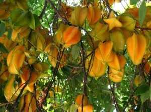 manfaat buah belimbing bagi kesehatan