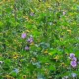 Bloemenweides voor bijen - 2013