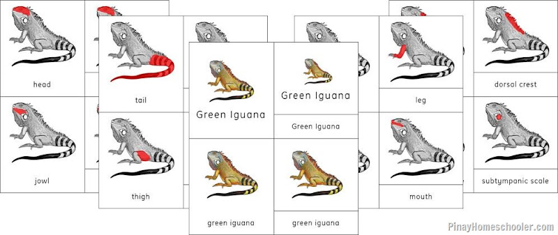 South America Continent Green Iguana and Giant Anteater Nomenclature Cards