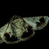 Geometridae : Geometrinae : Hypobapta tachyhalotaria HAUSMANN et al., 2009, verso. Umina Beach (NSW, Australie), 23 octobre 2011. Photo : Barbara Kedzierski