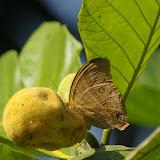 Amathusia phidippus dilutus FRUHSTORFER, 1899. Sukau (Sabah), 4 août 2011. Photo : J.-M. Gayman