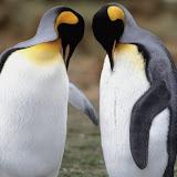 Tuxedo Check, King Penguins.jpg