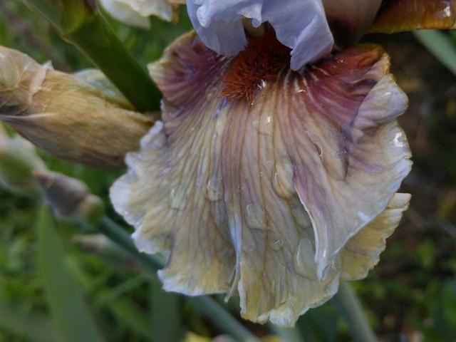 iris guatemala