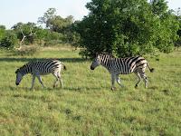 Zebras - Linyanti Concession (Chobe Region)