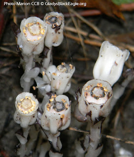 Indian pipe becomes erect as the fruit forms.