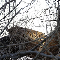 Leopard seen at Savuti
